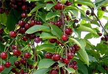 Piante da frutto for Piante da frutto kiwi