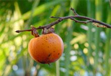 Piante da frutto for Elenco alberi da frutto